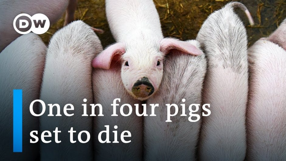 A quarter of global pig population expected to die due to swine fever epidemic | DW News